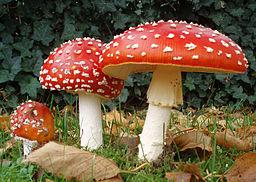 256px-2006-10-25_Amanita_muscaria_crop